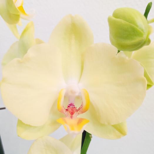 Нежно-зеленая орхидея в кашпо
