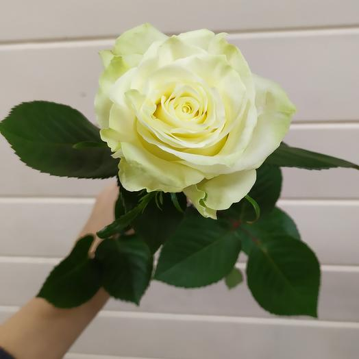 Роза эквадор мондиаль 60 см