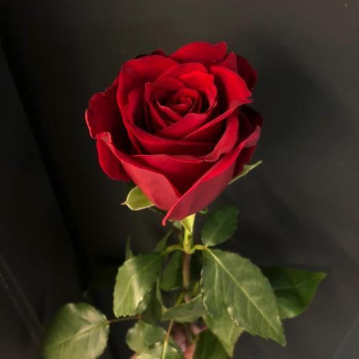 Роза Эксплорер 80