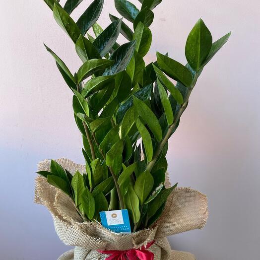 Замиокулькас -денежное дерево