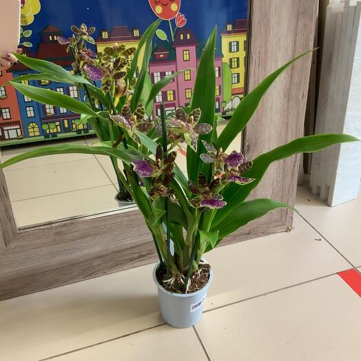 Комнатное растение Орхидея Зигопеталум