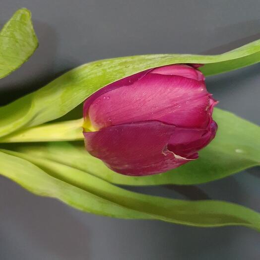 Peony tulip ripe cherry
