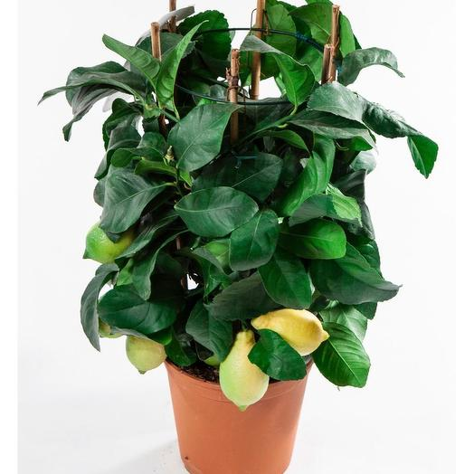Лимон 60 см: букеты цветов на заказ Flowwow