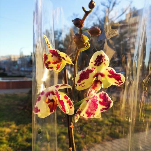 ✅ Орхидея