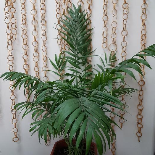 Пальма хамедорея в горшке