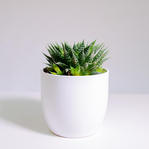 """Растение """"Алоэ Остистое"""" пересаженное в Белый овал горшок"""