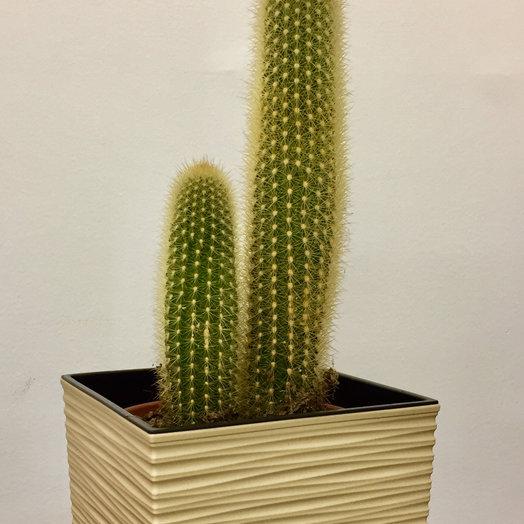 Мексиканский кактус в кашпо: букеты цветов на заказ Flowwow