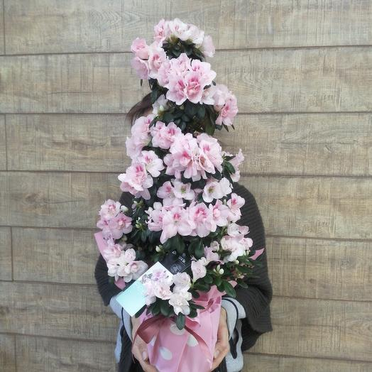 Шикарнейшая азалия для самой любимой: букеты цветов на заказ Flowwow