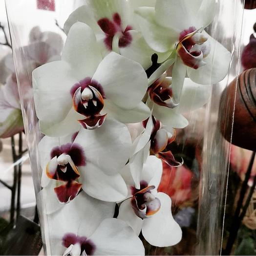 Орхидея белая с вишневой серединкой: букеты цветов на заказ Flowwow