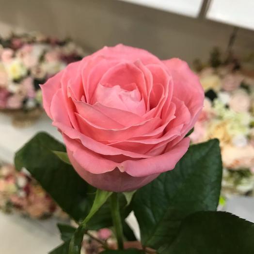 Роза Карина (80см)