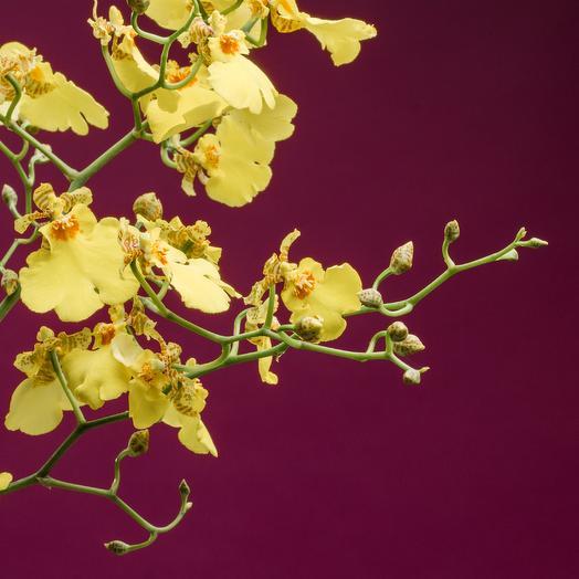 Орхидея Онцидиум 55*12