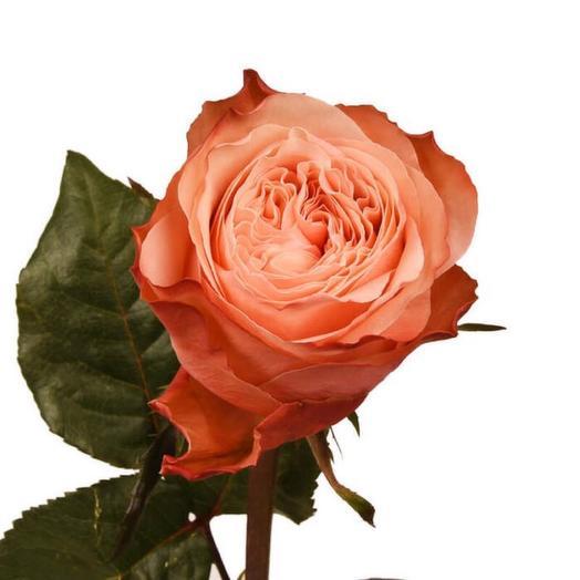 Роза Пионовидная Kahala