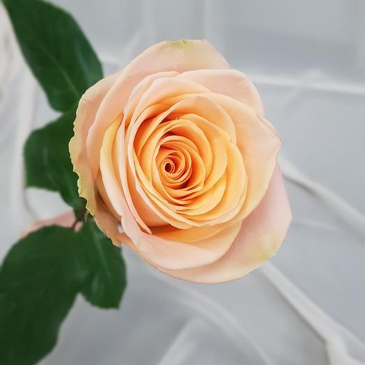 Роза Тиффани