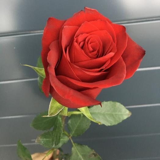 Роза красная (60см)
