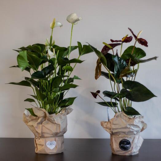 Комнатное растение Антуриум белый/красный