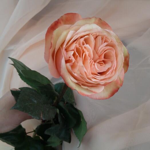 Шикарная пионовидная роза KAHALA