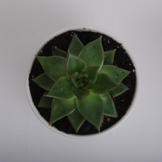 Комнатное растение эхеверия