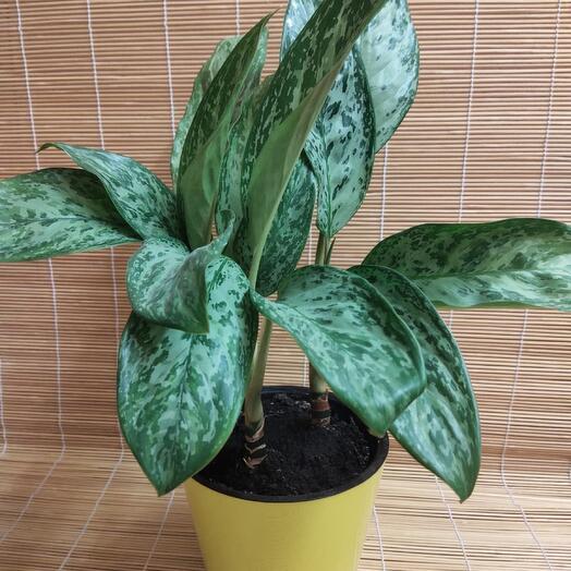 Комнатное растение ,,Аглаонема
