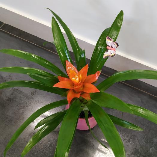 Гузмания в кашпо: букеты цветов на заказ Flowwow