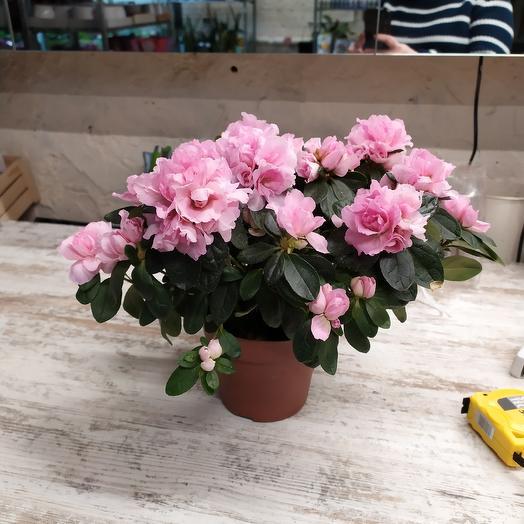 Рододендрон: букеты цветов на заказ Flowwow