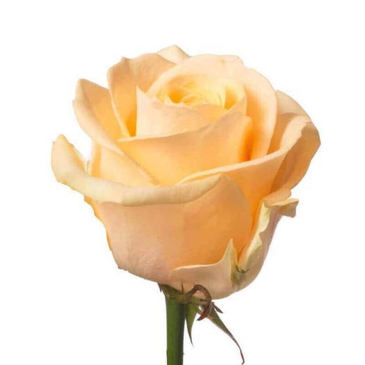 Роза сорта Талея 70 см