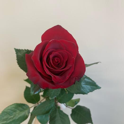 Роза Эквадор эксплоэр 50 см