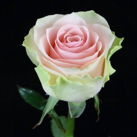 Роза Frutetto 60см