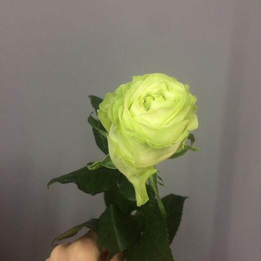 Роза «Васаби»