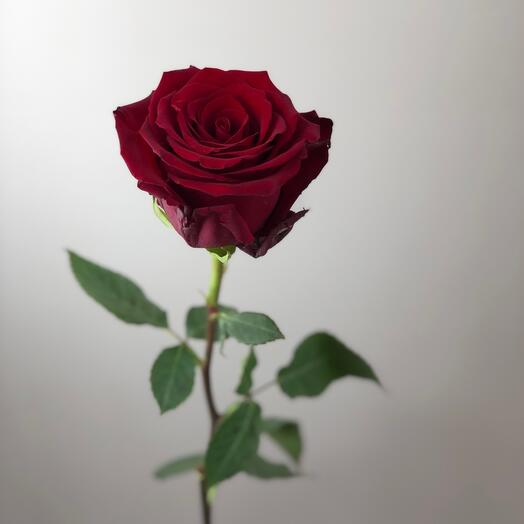 Роза Эквадор 50см