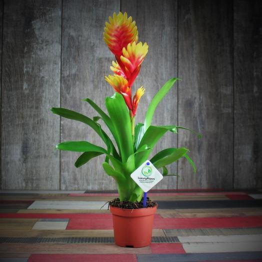 Вриезия: букеты цветов на заказ Flowwow