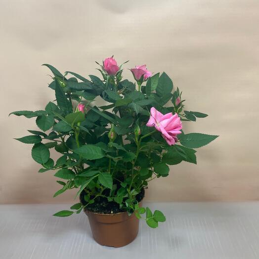 Горшечное растение Роза