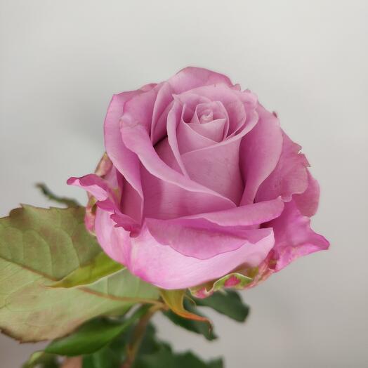Роза Меритим