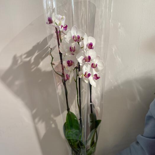Фаленопсис (Орхидея) 3ст