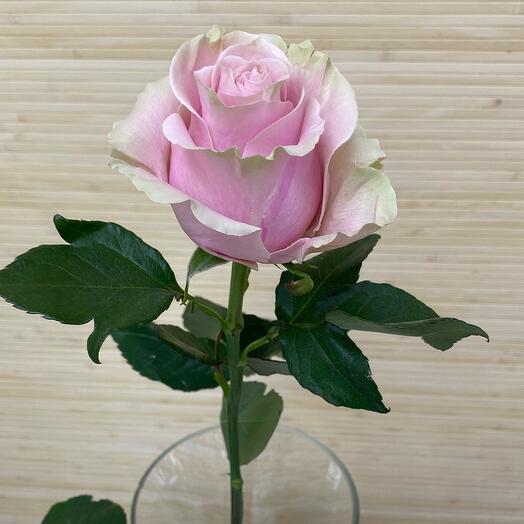Роза Пинк Мондиаль
