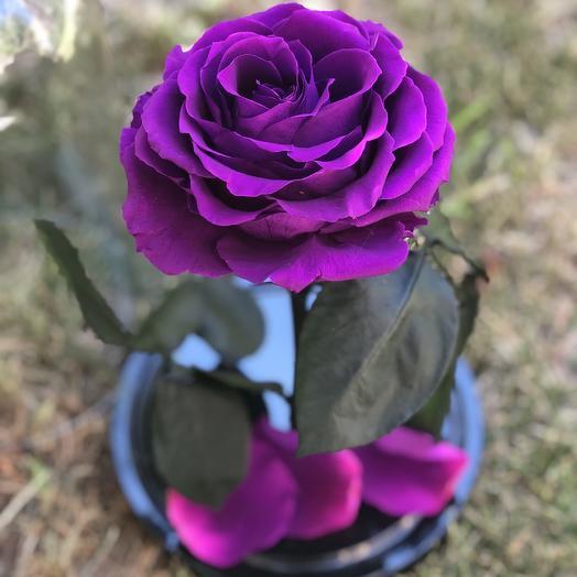 Роза в колбе фиолетовая: букеты цветов на заказ Flowwow