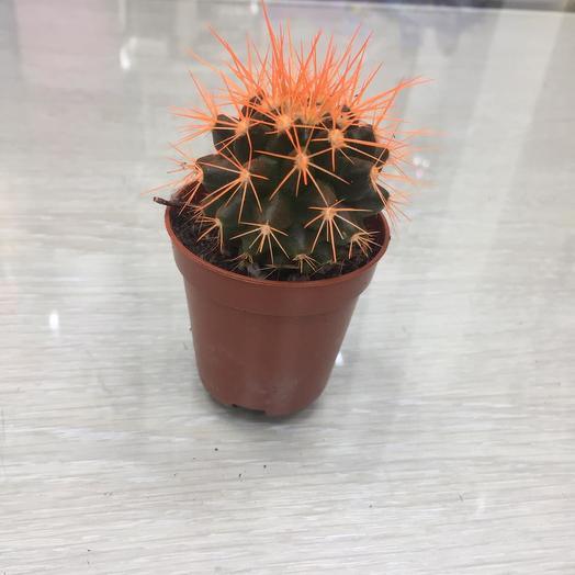 Кактус Оранжевый