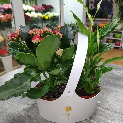 Спатифиллум и Каланхоэ: букеты цветов на заказ Flowwow