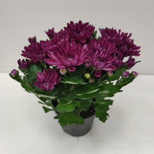 Хризантема махровая: букеты цветов на заказ Flowwow