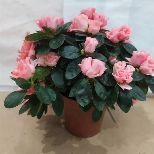 Комнатное растение Азалия