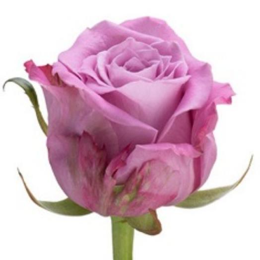 Роза Лавандовая 60см
