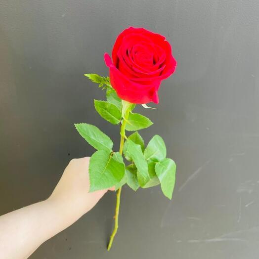 Роза Freedom Эквадор 70 см
