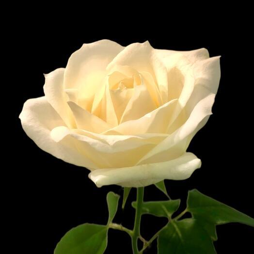 Роза White Naomi 60 см
