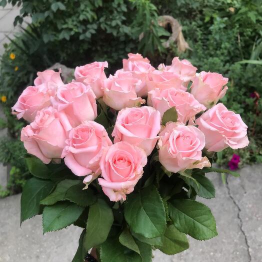 Нежная крымская роза
