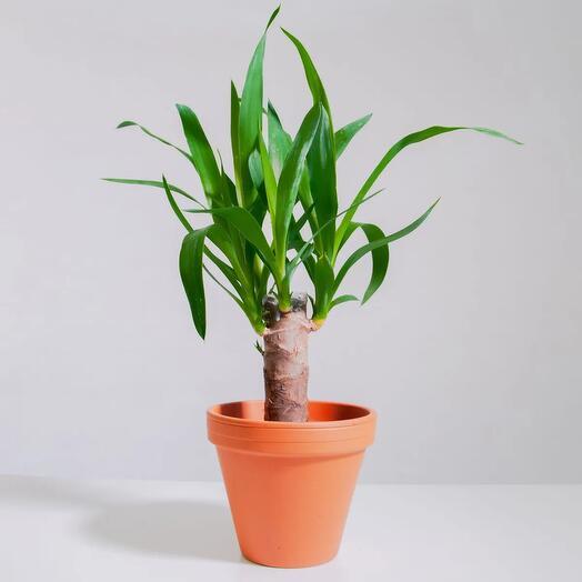 """Растение """"Юкка штамбовая"""" пересаженное в Цвет Глины горшок"""