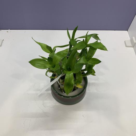 Драцена лакки бамбук: букеты цветов на заказ Flowwow