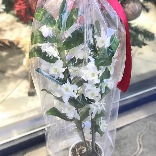 Комнатное растение. Белоснежная орхидея