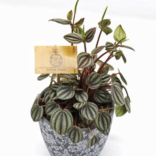 Пеперомия (Peperomia Jungle Jewels)