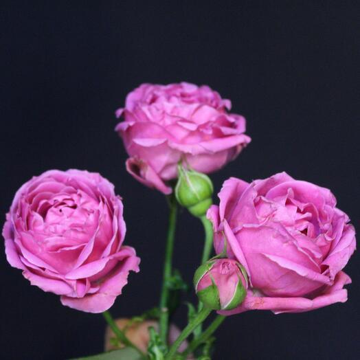 Роза кустовая пионовидная Misty Bubbles