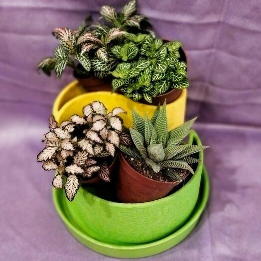 Комнатное растение Фиттония