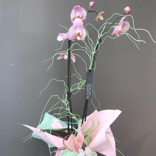 Орхидея горшечная с хлопком: букеты цветов на заказ Flowwow